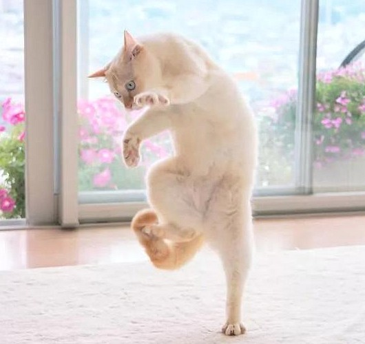 do you know? Cute cat turned out to be a master of dancing Cat,house pet,dancing